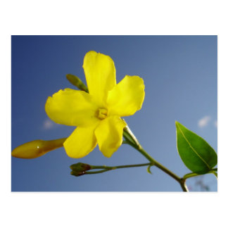 Yellow Jasmine Flower and Bud Against Blue Sky Postcard