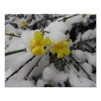 Yellow Jasmine flower in the winter snow Poster