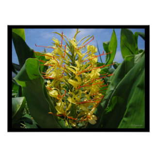 Yellow Kahili Ginger Tropical Flowers Poster Print