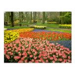 yellow Keukenhof Gardens near Haarlem, Netherlands Post Cards