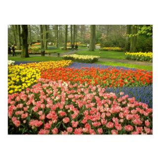 yellow Keukenhof Gardens near Haarlem, Netherlands Postcard