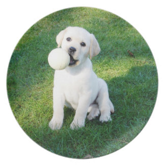 Yellow lab pup collector plate