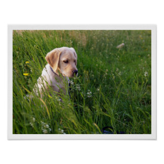 Yellow Lab Puppy in Tall Grass Poster