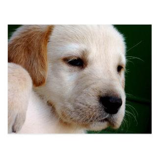 Yellow Lab Puppy Postcard