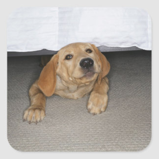 Yellow lab puppy stuck under bed square sticker
