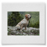 yellow lab sitting.png poster