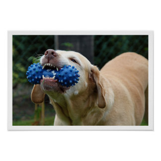 Yellow Lab with Toy Poster