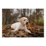 Yellow Labrador Puppy In Autumn Posters