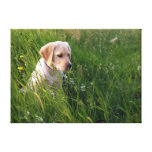 Yellow Labrador Puppy in Tall Grass Stretched Canvas Prints