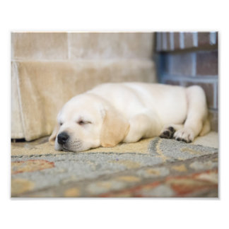 Yellow Labrador Puppy Photography Print Photo Print