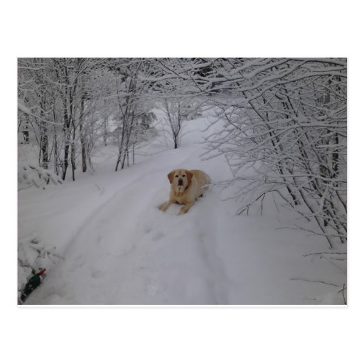Yellow Labrador Retriever Lying in Fresh Winter Sn Post Cards