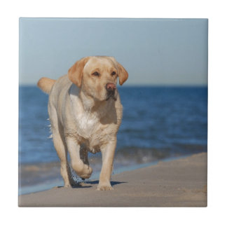 Yellow labrador retriever on the beach tile