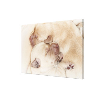 Yellow Labrador Retriever puppies, 10 days old Canvas Print