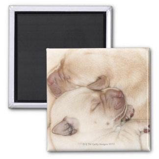 Yellow Labrador Retriever puppies, 10 days old Magnet