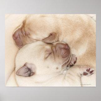 Yellow Labrador Retriever puppies, 10 days old Poster