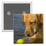 Yellow labrador with a tennis ball in the water pin