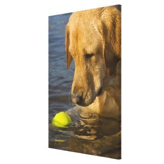 Yellow labrador with a tennis ball in the water canvas print