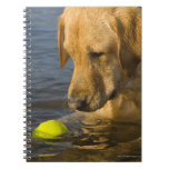 Yellow labrador with a tennis ball in the water spiral note book