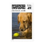 Yellow labrador with a tennis ball in the water postage