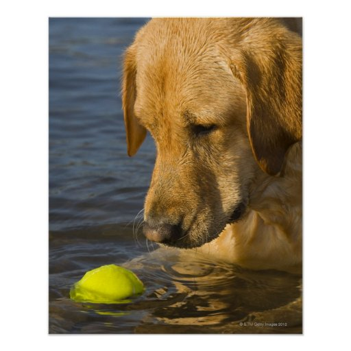 Yellow labrador with a tennis ball in the water print