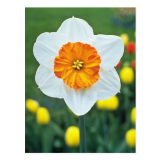 Yellow Large-cupped Narcissi, 'Professor Einstein' Postcard