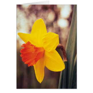 yellow Large-cupped Narcissi, 'Scarlet O'Hara' flo Cards