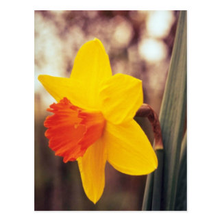 yellow Large-cupped Narcissi, 'Scarlet O'Hara' flo Postcard