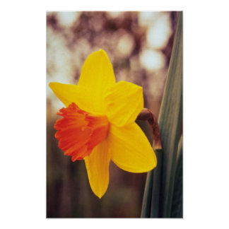 yellow Large-cupped Narcissi, 'Scarlet O'Hara' flo Poster