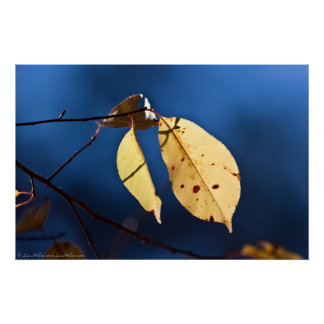 Yellow Leaves on a Blue Sky Poster