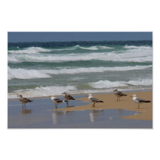 Yellow-legged Gulls Print