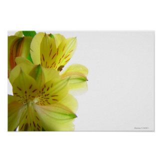 Yellow Lily Poster Print
