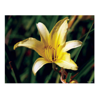 Yellow Lily With Spider Postcard