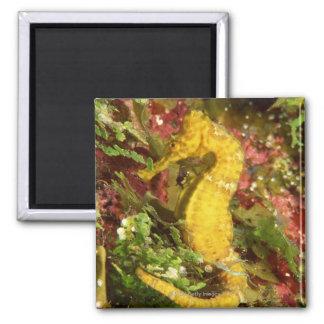 Yellow longsnout seahorse magnet