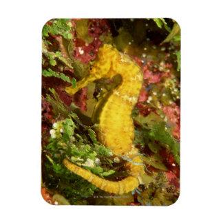 Yellow longsnout seahorse vinyl magnets