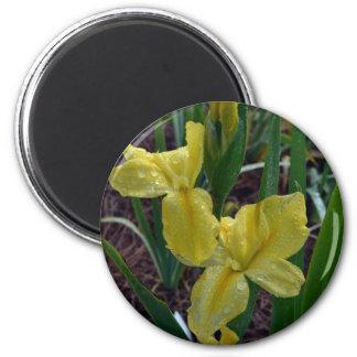 Yellow Louisiana Beardless Iris Fridge Magnet