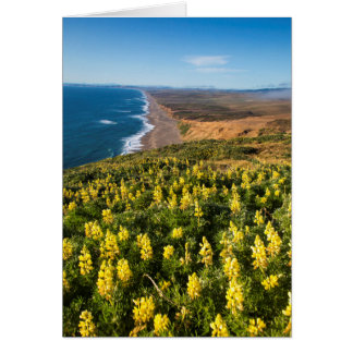 Yellow Lupine Above Point Reyes Beach At Point Card