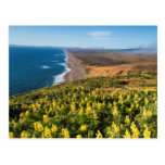 Yellow Lupine Above Point Reyes Beach At Point Postcard