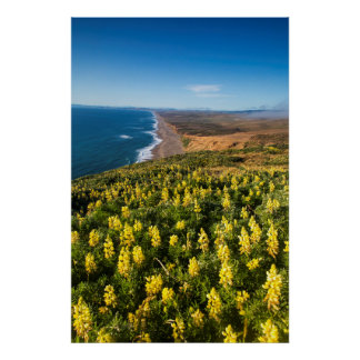 Yellow Lupine Above Point Reyes Beach At Point Poster