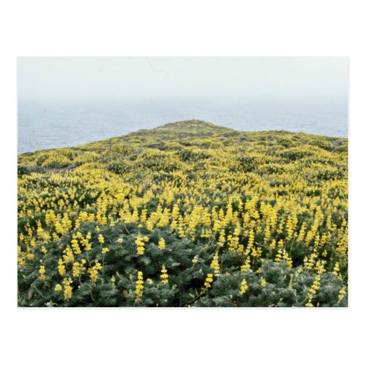 Yellow Lupine And Pacific, Tomales Point flowers Postcard