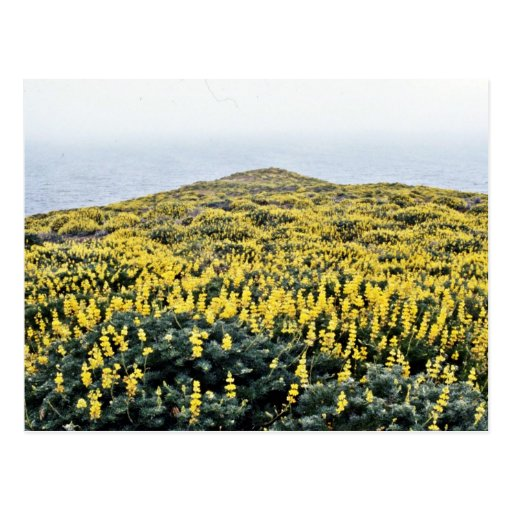 Yellow Lupine And Pacific, Tomales Point Postcard