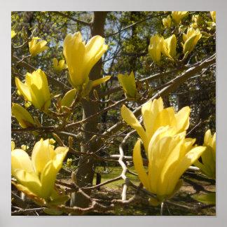 Yellow Magnolia Tree Poster