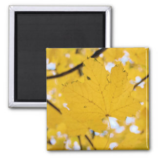 Yellow Maple Leaves on Magnet