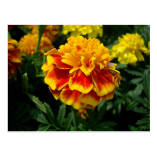Yellow Marigold Postcard