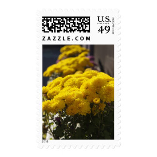 Yellow marigolds bask in sunlight postage