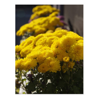 Yellow marigolds bask in sunlight postcards