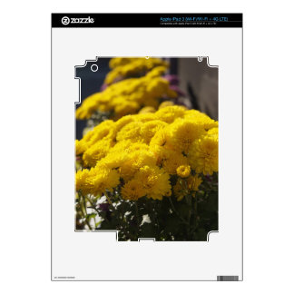 Yellow marigolds bask in sunlight skins for iPad 3
