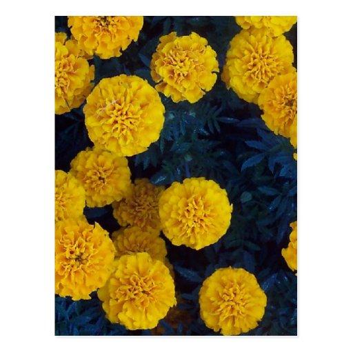 Yellow Marigolds Postcard