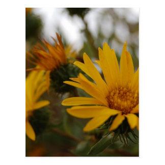 Yellow Milkweed Postcard