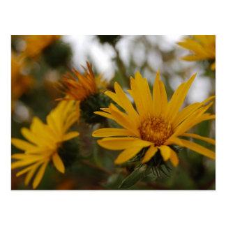 Yellow Milkweed Post Cards
