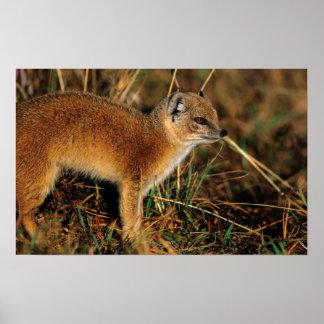 Yellow Mongoose (Cynictis Penicillata) Profile Poster